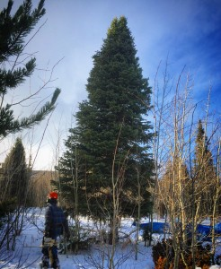Colorado capitol tree cutting 2015