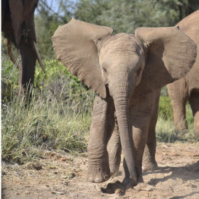Despite poaching, elephants' social networks hold steady