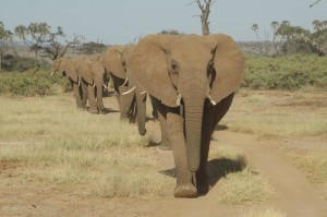 Elephant family walking in line