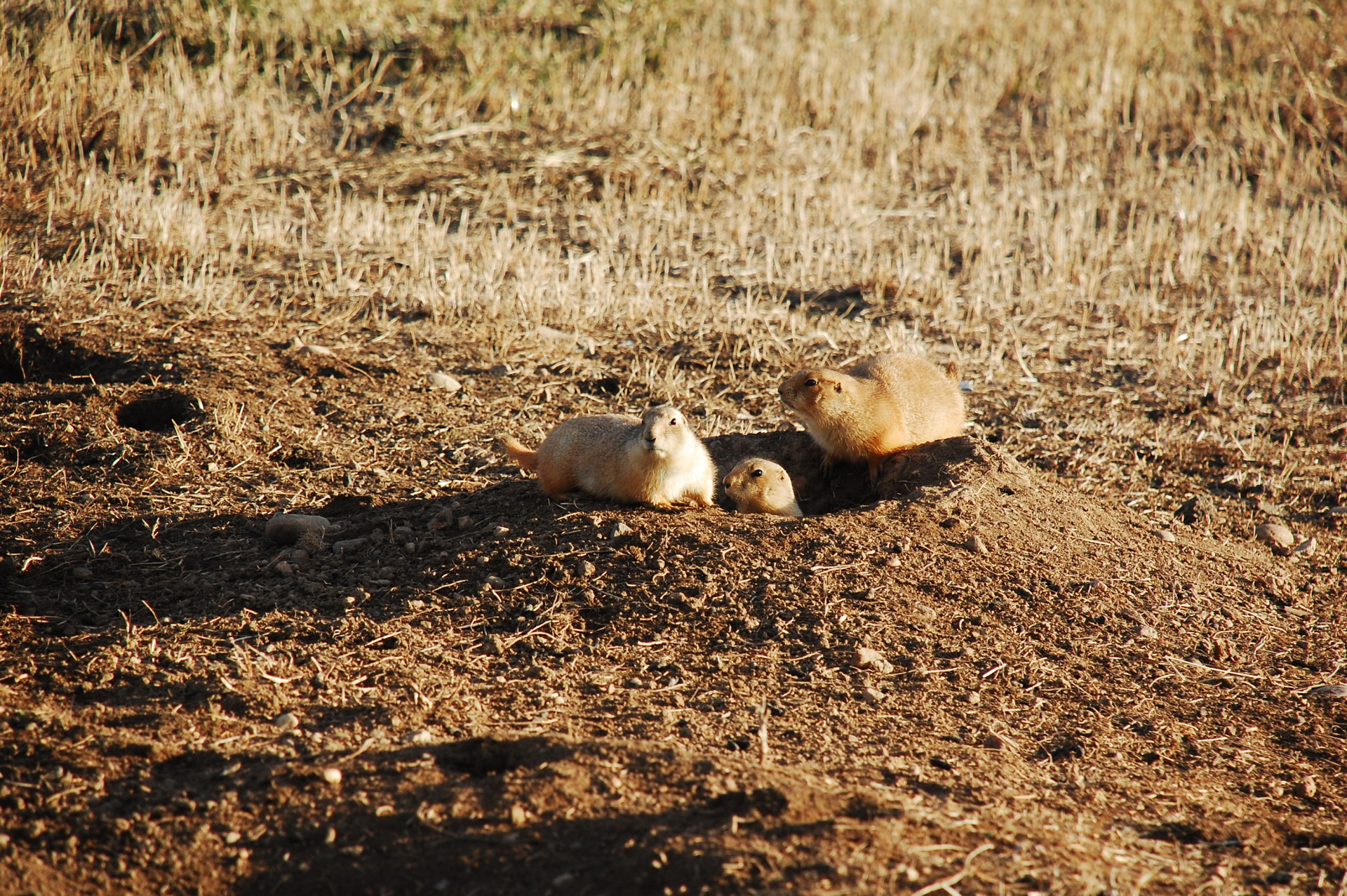 Black Tailed Prairie Dog Disease