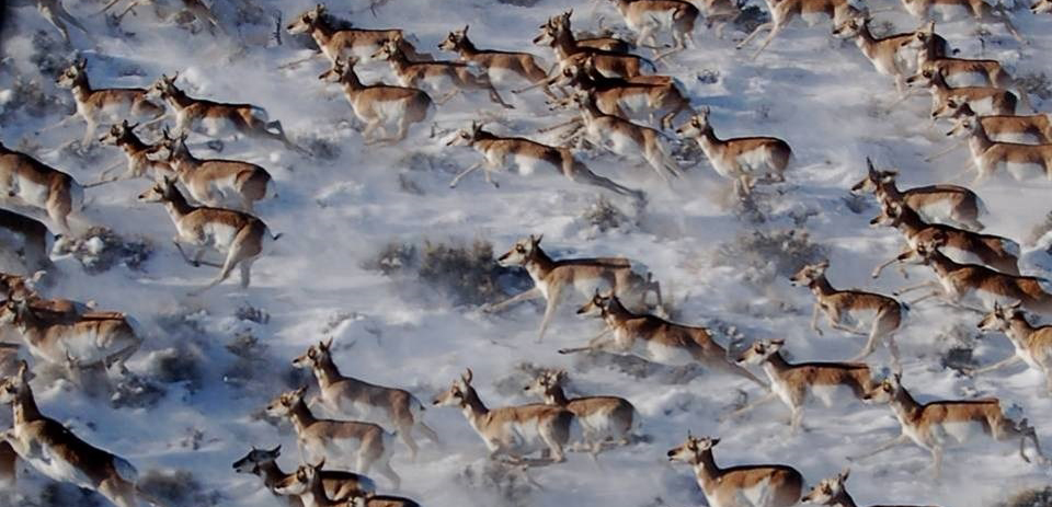 pronghorn migrating across the land