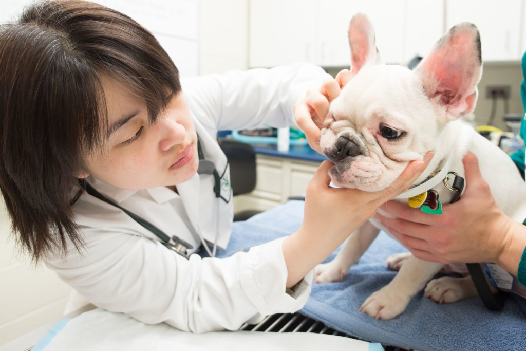 Colorado State University postdoctoral fellow Willana Busuki examines Caroline Dennington's French bulldog puppy Bruce in the Veterinary Teaching Hospital's Dentistry and Oral Surgery section, June 11, 2015.