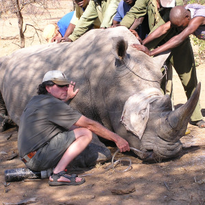 Ed Warner assists with a tranquilized rhino