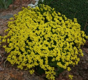 Yellow stardust draba