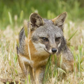 Island foxes may need genetic rescue