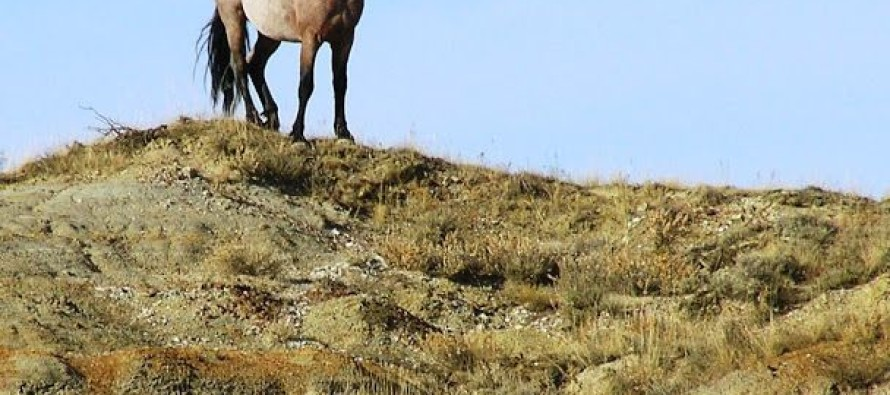 CSU researchers team with federal agencies to find better ways of managing wild horse herds