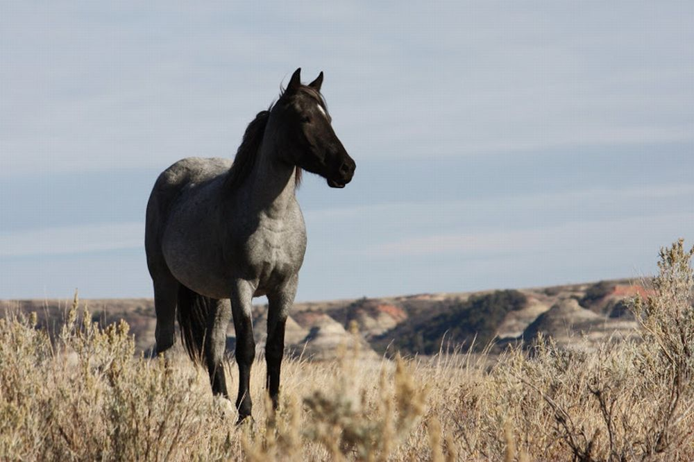 Breaking News: CSU Withdraws from BLM's Gruesome Sterilization Study of Wild Mares