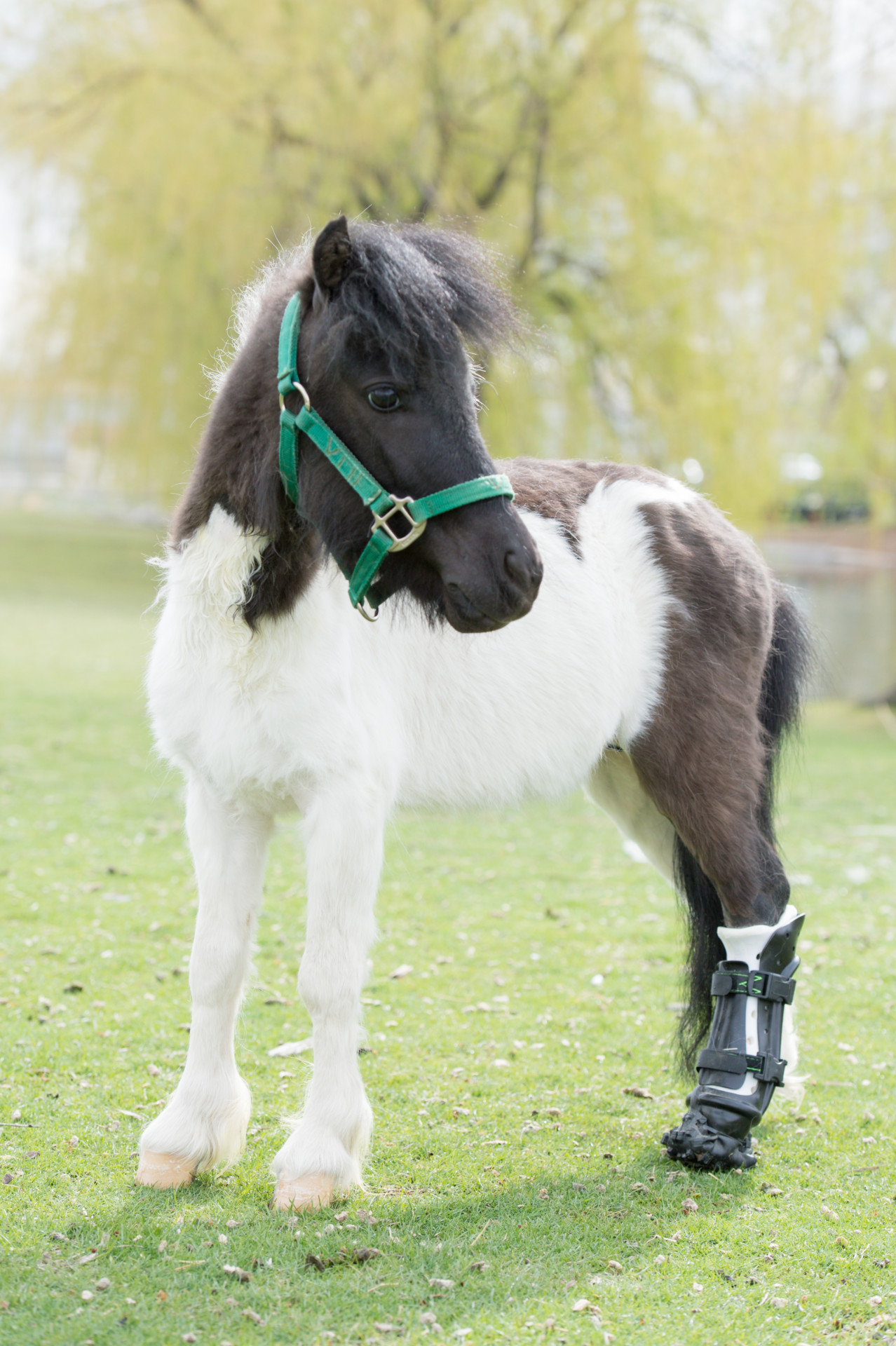Steps For Horses : Shine on miniature horse has spring in his step with