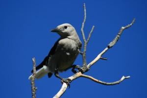 Travis Gallo field work Clark's Nutcracker bird