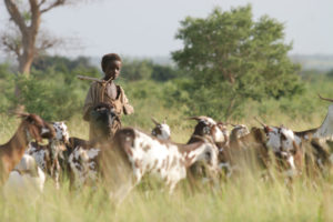 Fulani herder with goats
