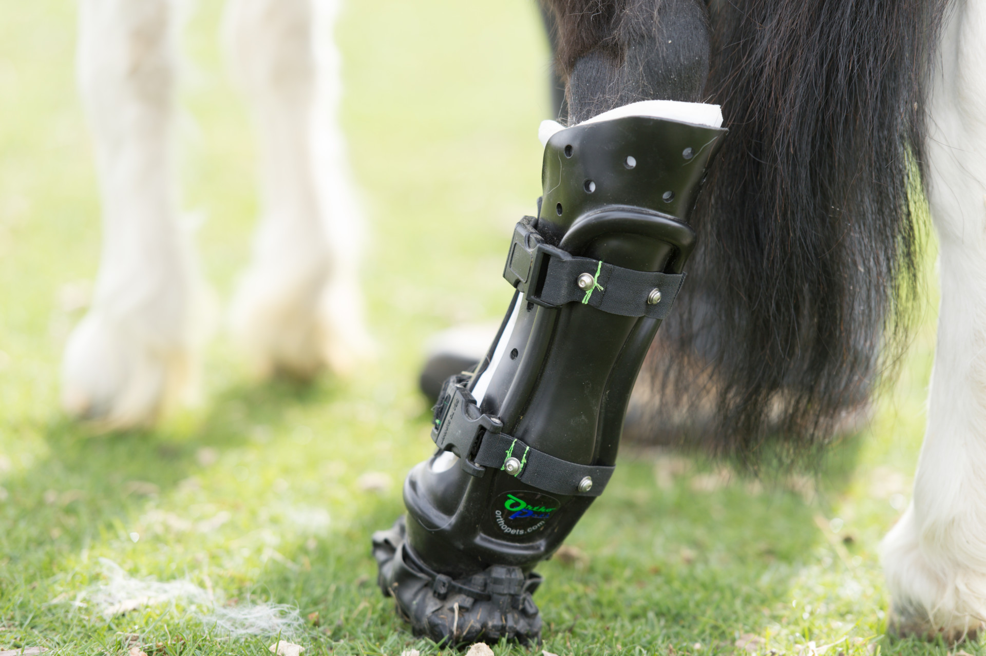 Molly - Pony With A Prosthetic Leg