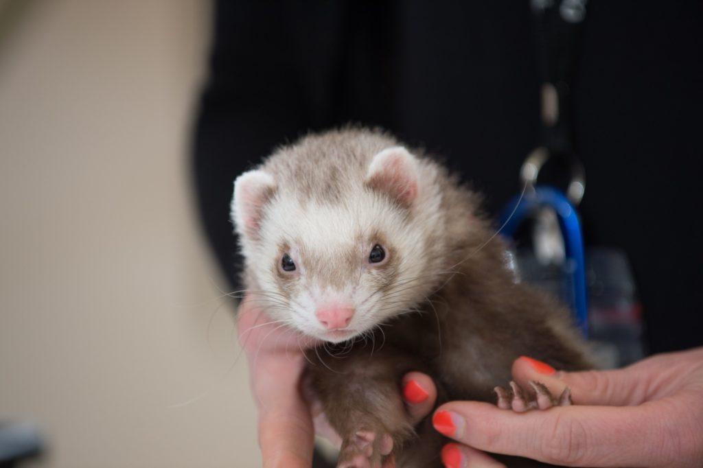 "Rita Yaroush has her ferrets ""Riskin"" and ""Blaze of Glory"" evaluated by Colorado State University's Veterinary Teaching Hospital, May 8, 2014 Rita Yaroush has her ferrets ""Riskin"" and ""Blaze of Glory"" evaluated by Colorado State University's Veterinary Teaching Hospital, May 8, 2014"