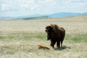bison calf and mom on Soapstone Prairie Natural Area