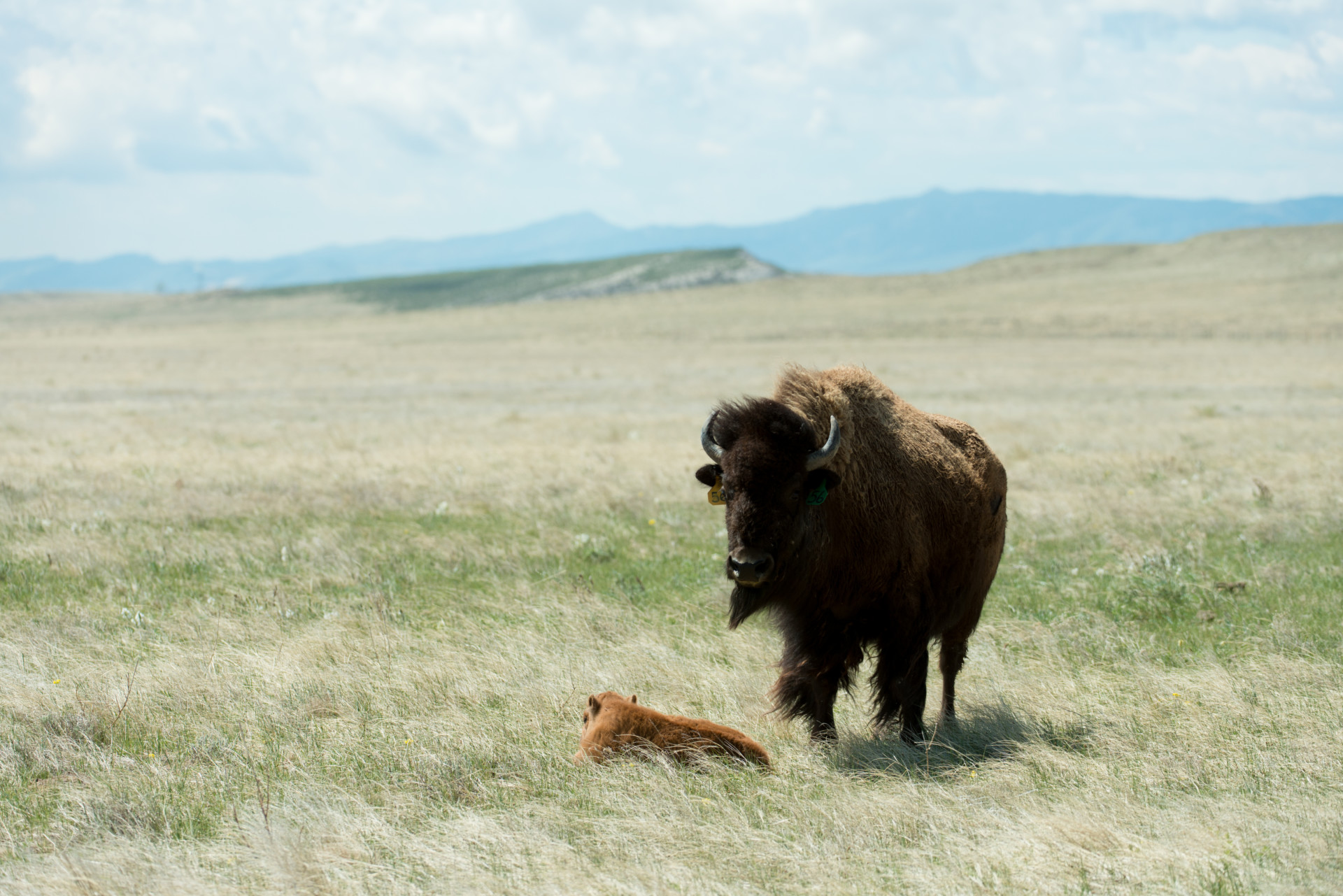 Natural birth: Two calves born to NoCo conservation herd ...