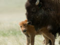 Natural birth: Two calves born to NoCo conservation herd