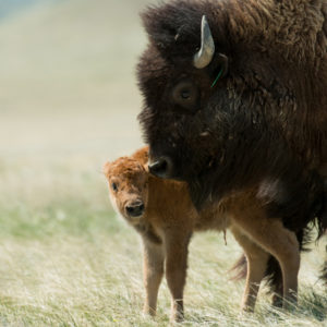 bison calf mom Soapstone May 2016