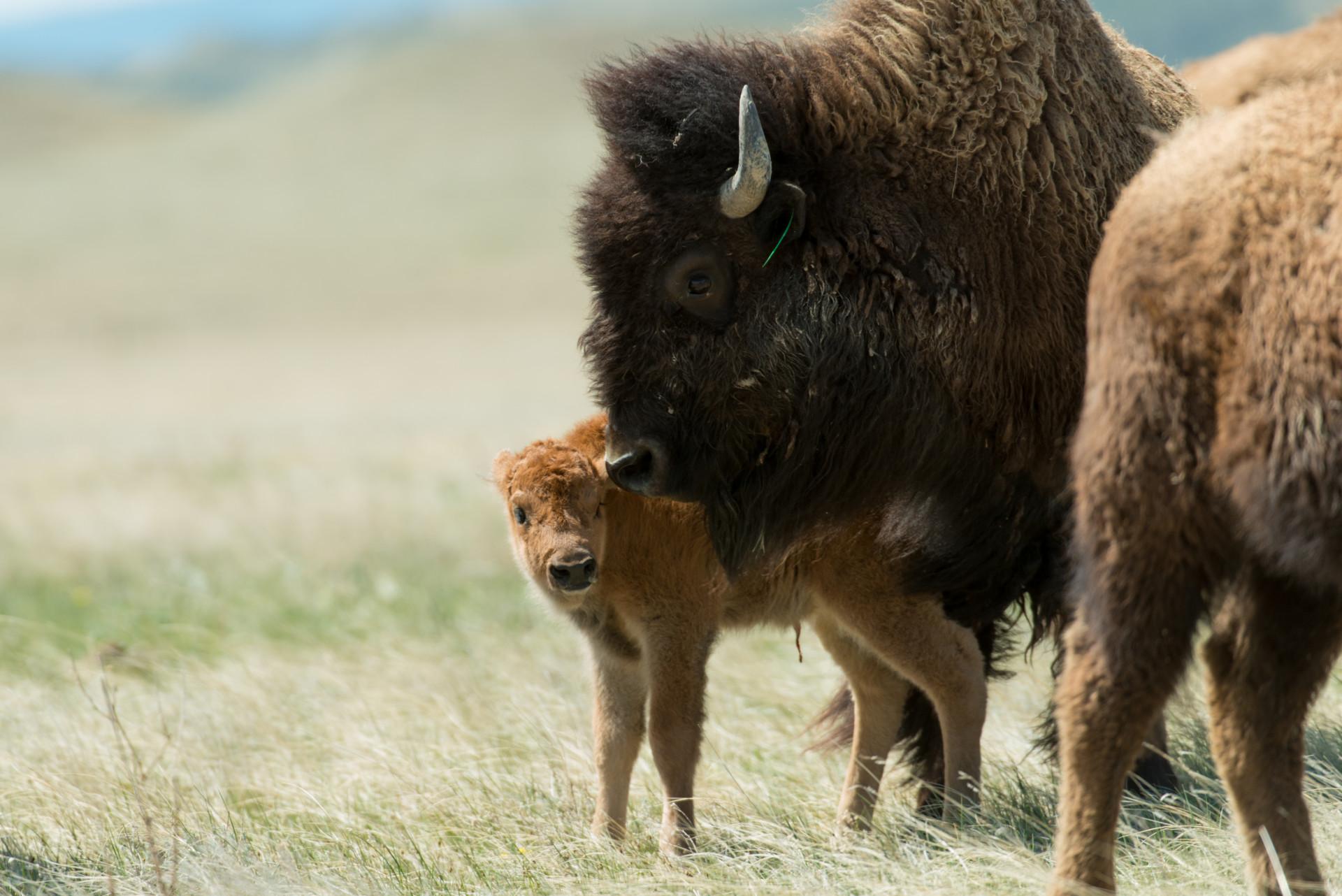 bison - photo #8
