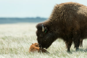 bison calf nuzzled by mom Soapstone May 2016