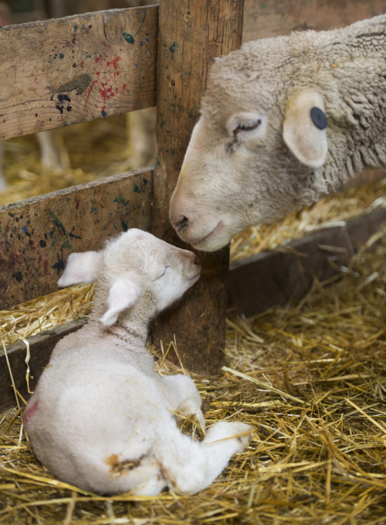 A ewe and her lamb bond in their pen Friday May 6, 2015, during a lambing practice at the lambing camp of the Warren Livestock Ranch in Wyoming.