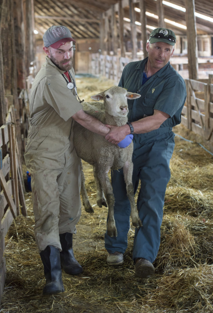 Dr. Dave Van Metre, right, carries a ewe out of her pen to attend an injured hoof with student, Dave Williams, left, Friday May 6, 2015, during a lambing practice at the lambing camp of the Warren Livestock Ranch in Wyoming.