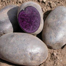 Researchers develop nutrient-rich purple potato
