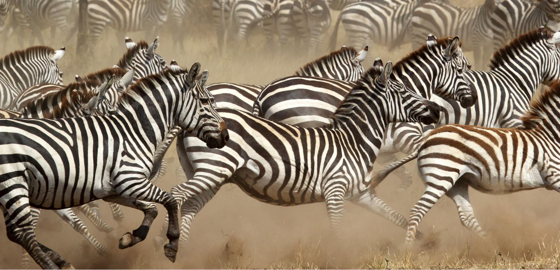Herd of zebras galloping