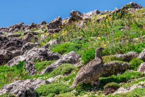 mountain landscape scenery with Ptarmigan camouflaged in the roc