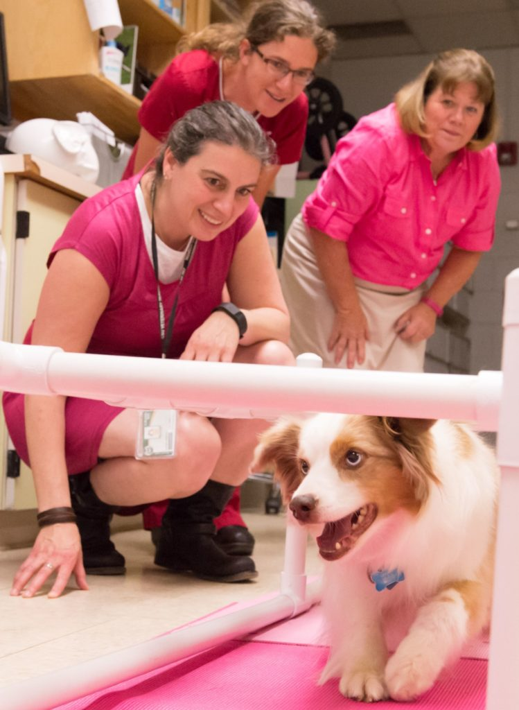 Colorado State University veterinary neurologist Rebecca Packer, veterinary technician Laura Southworth and Chari Leleck watch Leleck's dog cricket do a crawling exercise during physical therapy at CSU's Veterinary Teaching Hospital, June 21, 2016.
