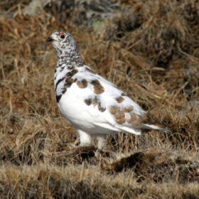 Study: Ptarmigan reproduction in Colorado varies, likely not linked to warming trends