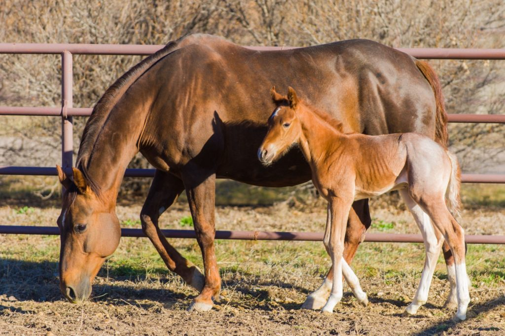 A newborn foal at the Colorado State University Equine Reproduction Laboratory