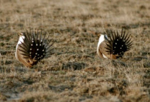 male lek tails full sage grouse