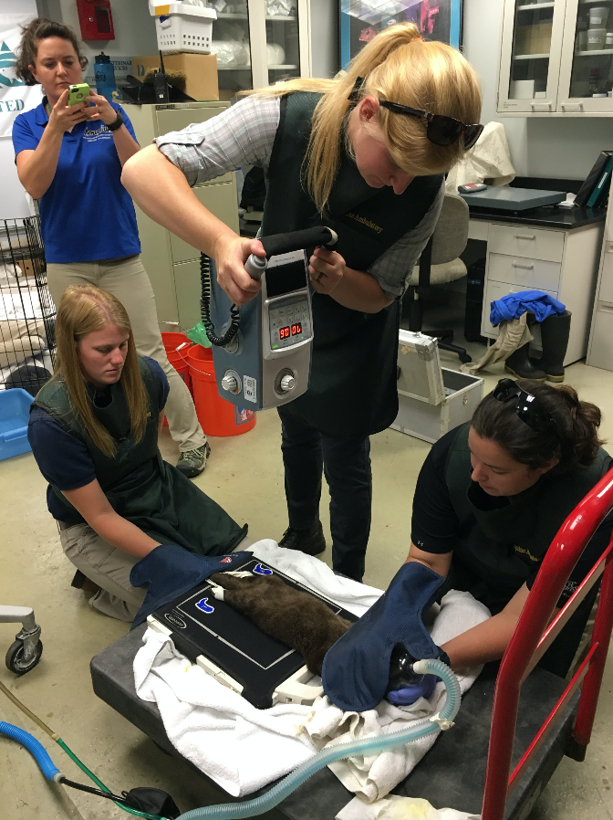 Dr. Mindy Story of the CSU equine field service takes an X-ray with the service's portable digital radiograph machine while students Jess Martin, left, and Deb Lanzi hold the otter at the Downtown Aquarium in Denver. (Photo by Kristen Browning-Blas/CSU)