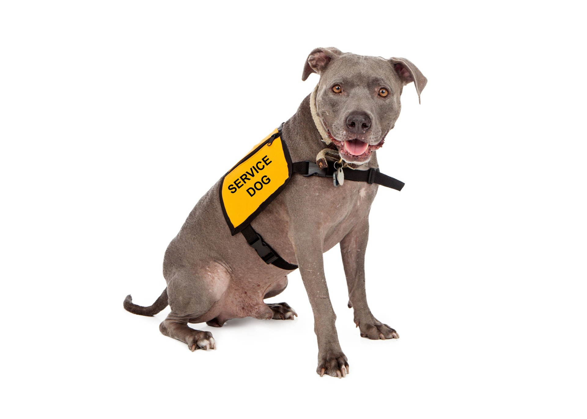 Image of: Plane Servicedogwithvest Colorado State University Policy On Service Emotional Support Animal Use On Campus Updated