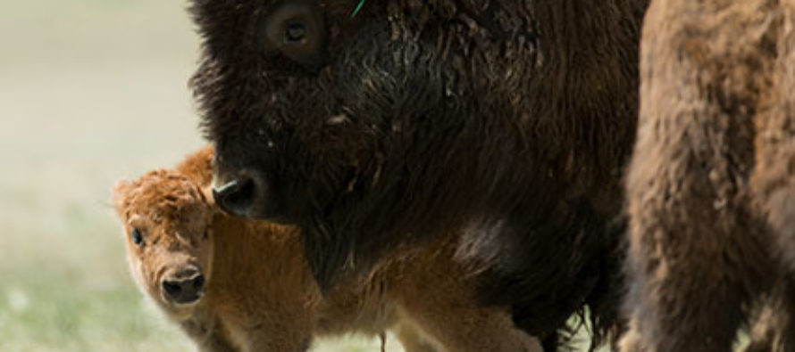 One year later: Bison herd gains hoof-hold and boosts conservation nationwide