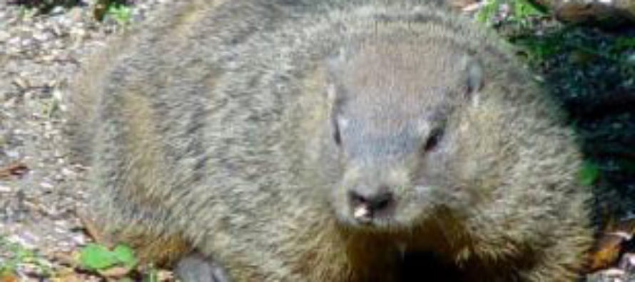 Did you know? CSU groundhog expert offers fascinating facts