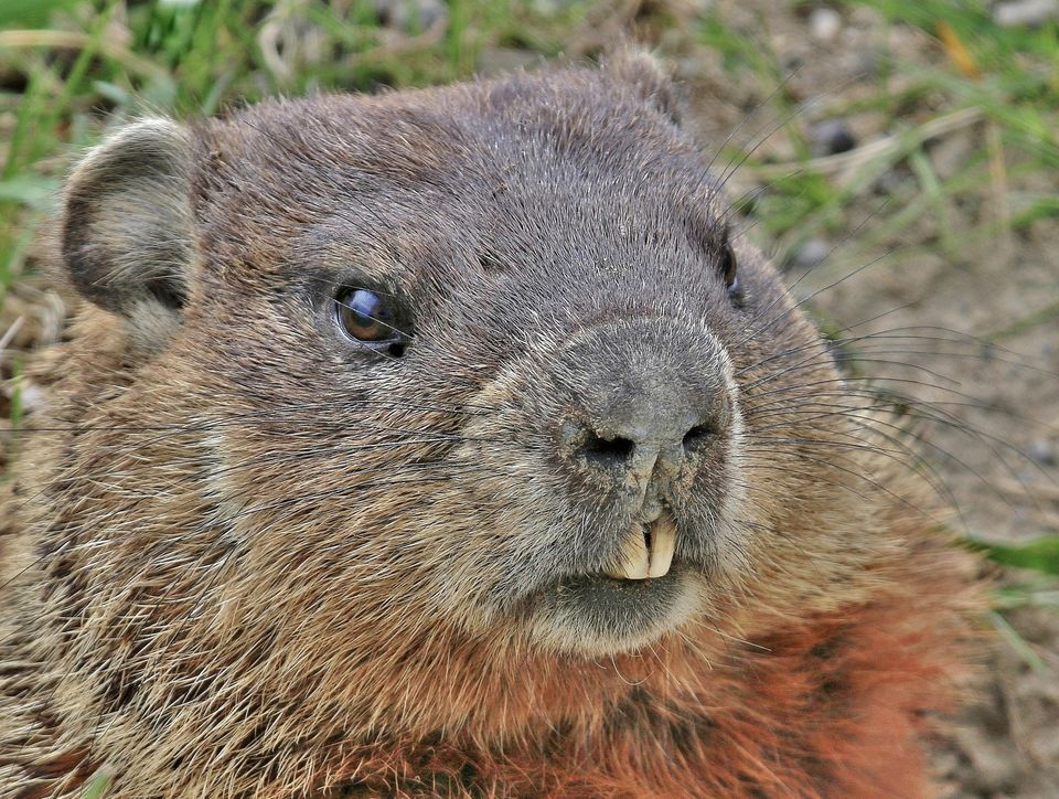 Did you know? CSU groundhog expert offers fascinating ...