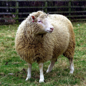 20 years after Dolly: Everything you always wanted to know about the cloned sheep and what came next