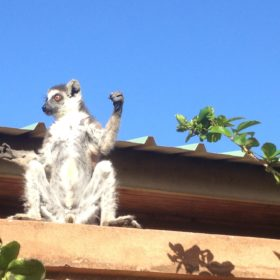 Studying abroad with the lemurs of Madagascar