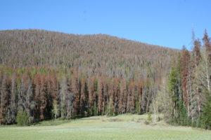 mountain pine beetle impacts