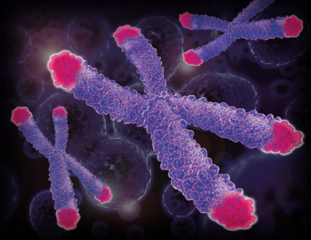 Telomeres, the protective caps on the ends of chromosomes get shorter as we age, but stress can cause them to shorten prematurely. (Genetic Literacy Project photo)