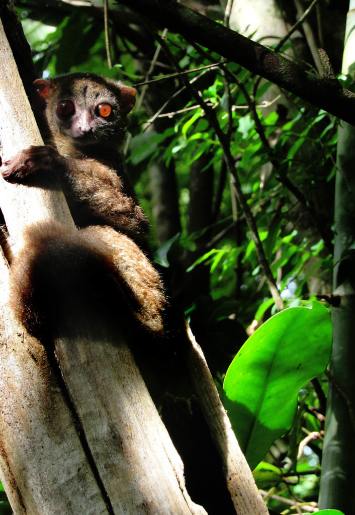 photo of a sahamalaza lemur