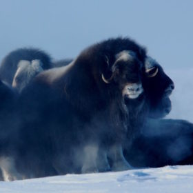 Scientist at work: Tracking muskoxen in a warming Arctic
