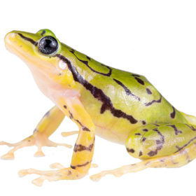 'Spectacular-looking' endangered frog species discovered in Ecuador's cloud forests
