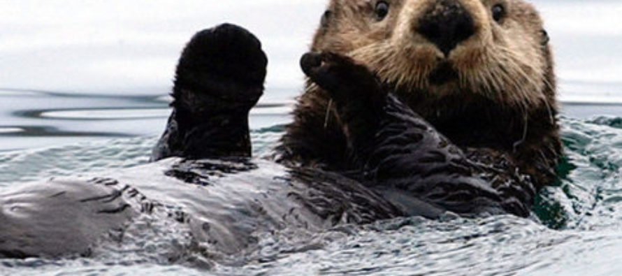The extraordinary return of sea otters to Glacier Bay