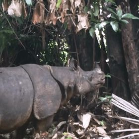 Saving Javan rhinos from extinction starts with counting them – and it's not easy