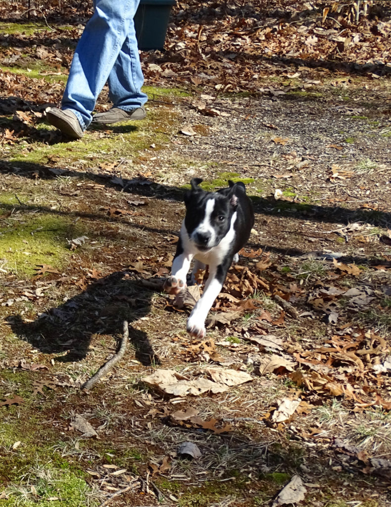 Now recovered from parvo, Piper delights in romping through the forest. (Photo courtesy of Catherine Houghton)