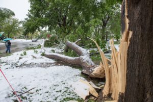 A historic hackberry tree damaged by this week's storm.