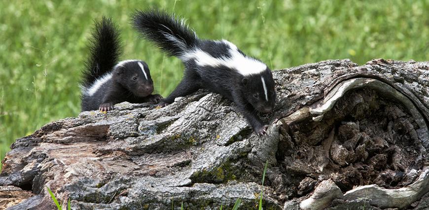 rabies.skunksLEDE