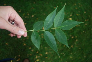 color photo of a person holding ash tree leaves