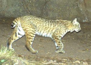 remote camera trap photo of a bobcat in southern California